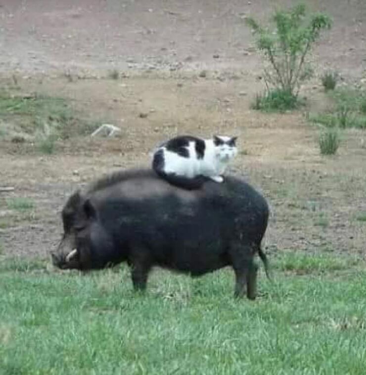 【豆芽妹尬聊】贵族猫有只猪当坐骑很正常!沙雕手办谁不爱